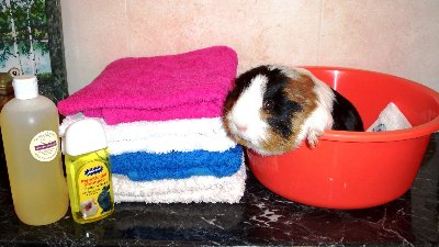 Guinea pig bath claws cut ear wax removal matted hair removal a haircut