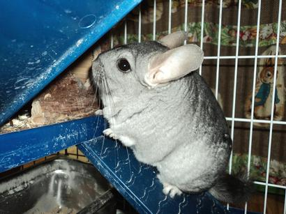 rabbits,guinea pigs,ferrets,chinchillas,hamsters,mice